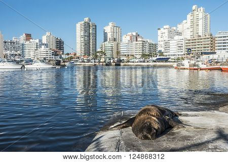 Maldonado April 22 2013 - Seal lying in the sun in front of the yacht club in Punta del Este harbor Uruguay