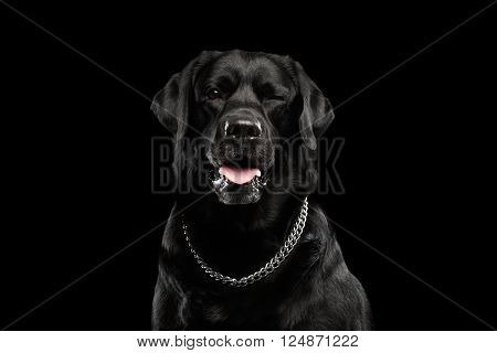 Closeup Portrait of Labrador Dog Winked Looking in Camera Front view Isolated on black background