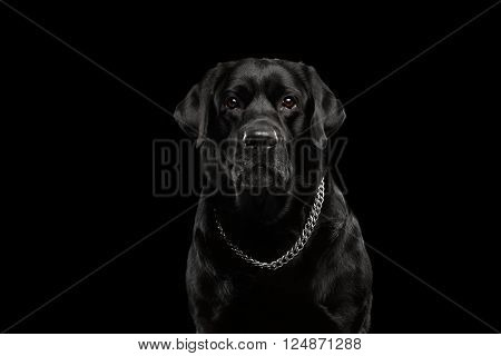 Closeup Portrait of Labrador Dog with Collar Serious Looking in Camera Front view Isolated on black background