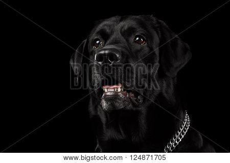 Closeup Portrait of Labrador Dog with Chain Collar Alert Looking Front view Isolated on black background