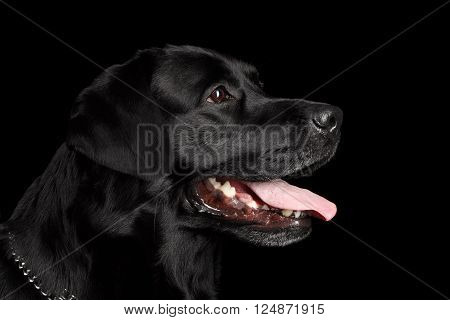Closeup Portrait of Labrador Dog Kind Looking Forward Profile view Isolated on black background