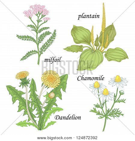 Chamomile yarrow dandelion plantain milfoil. Set of herbs for alternative medicine. Isolated image plants and flowers on white background. Vector illustration.