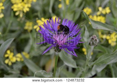 Bumblebee chose to land on big purple flower