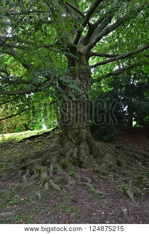 Beautiful deciduous tree with uncovered roots at the park