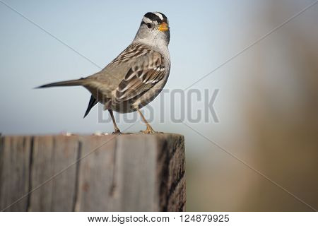 A male White-crowned Sparrow perches on a fence post.