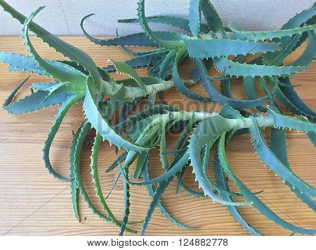 Aloe leaves on the table to make aloe juice
