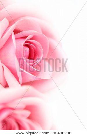 pink rose macro close up