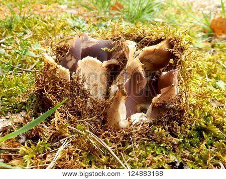 Sarcosphaera coronaria (Violet Crown-cup or Crown Fungus) breaking the soil