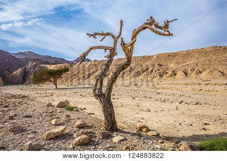 The route starts in the scenic Black Canyon. Fancifully curved dried tree. Stone desert near the seaside resort of Eilat