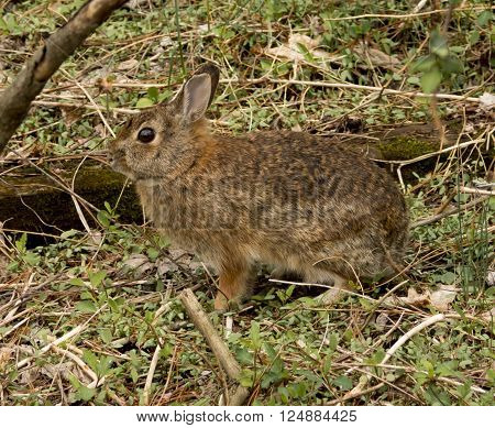 An Eastern Cottontail Rabbit (Sylvilagus floridanus) is frozen still in a defensive tactic.