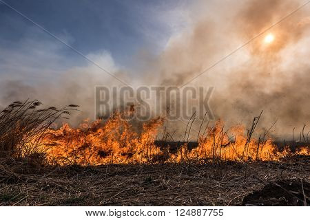Dried reeds growing in the fire at sunset.
