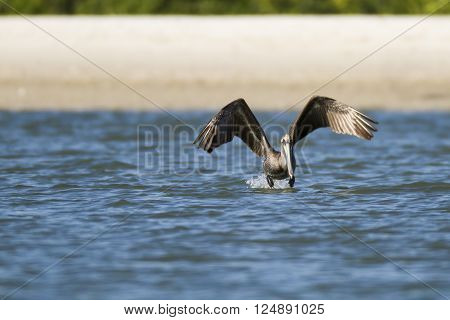 Brown Pelican flaps furiously to get off water