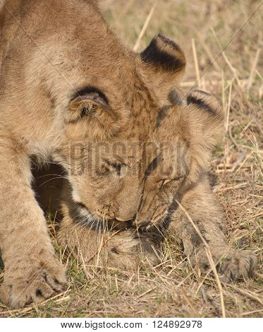 Lion cub is one of the four big cats in the genus Panthera, and a member of the family Felidae. With some males exceeding 250 kg (550 lb) in weight it is the second-largest living cat after the tiger