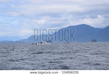 humpback whales bubble net feeding off the coast of Juneau Alaska