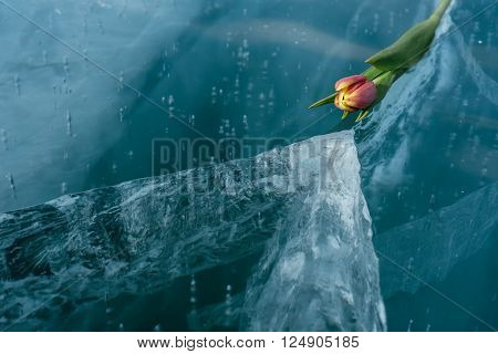Beautiful tulips on pure ice. One of the cleanest and most beautiful lakes in the world - Lake Baikal. Flowers lie on the fresh ice.
