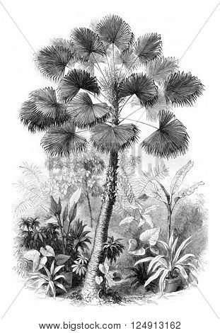 Serre from Jardin des Plantes, Latanier flowers, vintage engraved illustration. Magasin Pittoresque 1857.