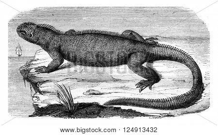Amblyrhynchus cristatus, vintage engraved illustration. Magasin Pittoresque 1847.