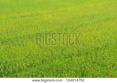 Close up natural green rice field in nan thailand