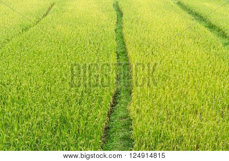 Pathway in green rice field at nan thailand