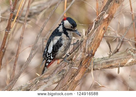 Woodpecker sitting on a branch close up