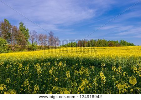 Canola field under cloudy blue sky with undergrowth trees. Bright and fresh sunny day