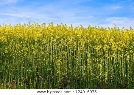 Canola seeds under blue sky. Rape crops on sunny fresh day. Agricaltural plants view