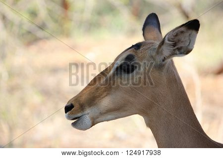 Closeup of a female Impala in the Kruger National Park