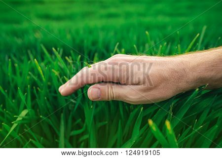 Farmer's hand over young green wheat plants in cultivated field responsible crop protection concept in agricultural production.