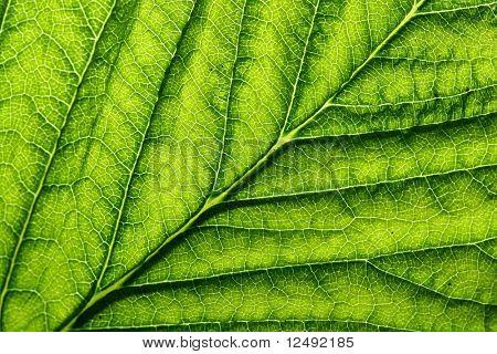 green leaf vein