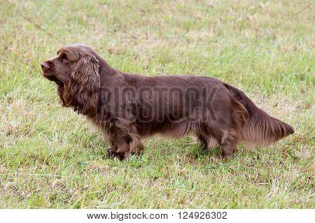 Typical Sussex Spaniel dog in the spring garden