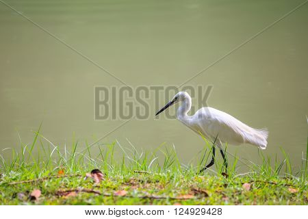 Animals In Wildlife - White Egrets. Outdoors.