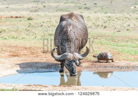 A muddy Cape Buffalo Syncerus caffer and a wet Leopard tortoise Stigmochelys pardalis