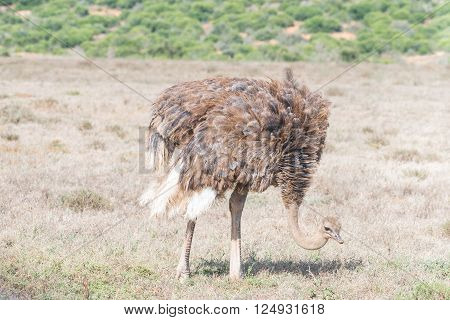 A female ostrich Struthio camelus grazing in a grass field