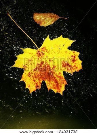 Detail Of Broken Colorful Leaf. Symbol Of Fall. Leaf On Wet Slipper Stone In Cold Milky Water Of Rap