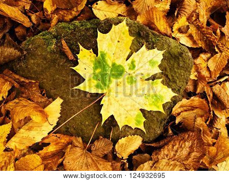 Yellow Green Broken Maple Leaf On Mossy Stone.  Park Ground With Autumn Leaves.