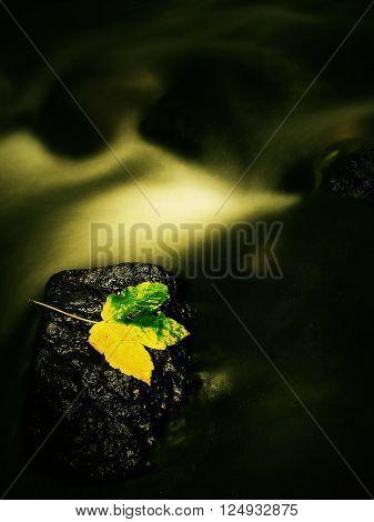 Broken Maple Colorful Leaf. Castaway On Wet Slipper Stone In Stream