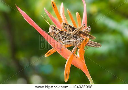 Grasshopper perching on red flower innature background