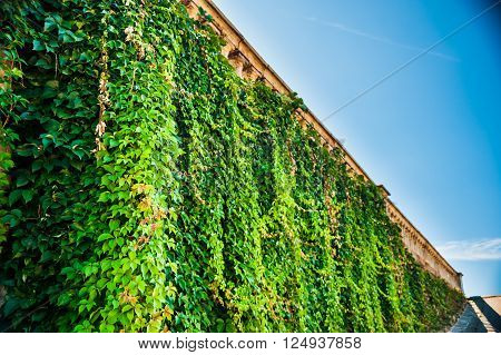 Wall with ivy and weathered historic balustrade at the top. Beautiful background image.