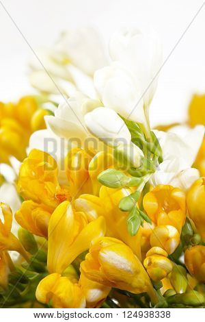 Yellow and white freesias on white background