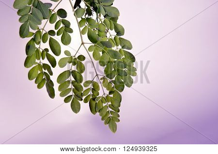 Moringa leaves on a nice gloomy background