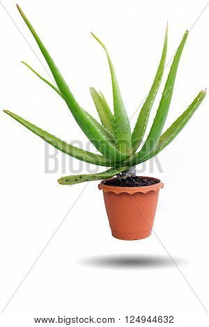 Green Aloe Vera On White Background.