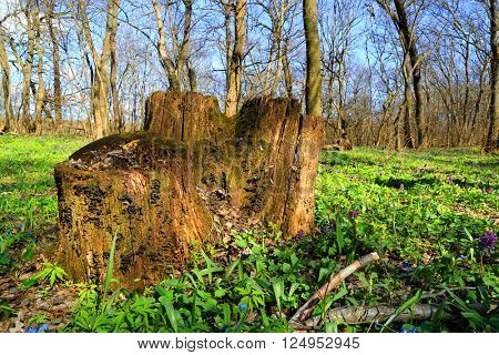 old wooden stump in forest st spring time