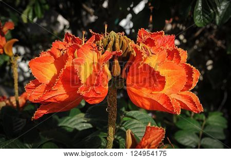 Beautiful flowers of the African tulip tree, La Palma, Spane