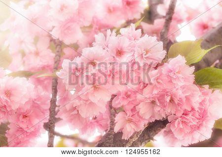 Beautiful Japanese cherry blossomed - flowering cherry tree