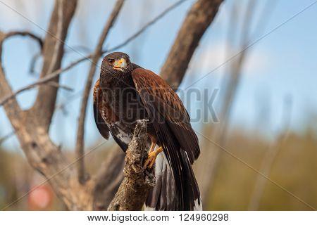 a harris hawk in the arizona desert