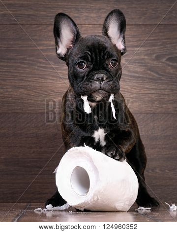 Funny dog playing with toilet paper. Dog French Bulldog puppy, black color. Background wood