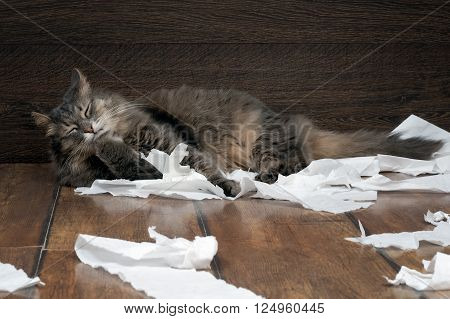 Big gray cat playing with the toilet paper on the floor. Cat fluffy. Paper crumpled, torn