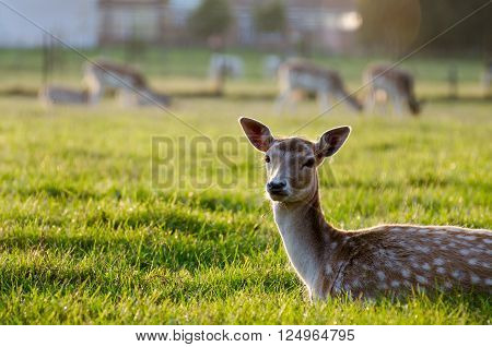 The sika deer (Cervus nippon) on the grass. Belgium