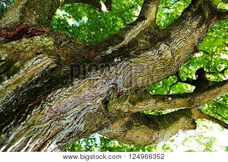 Looking up an oak tree crown with spring green foliage. ** Note: Soft Focus at 100%, best at smaller sizes