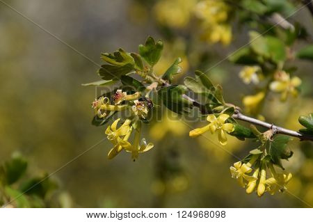 Wasp On The Flowers Of Golden Currant